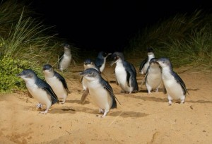 Photo from penguins.org.au